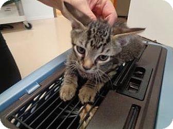 Domestic Shorthair Kitten for adoption in St Augustine, Florida - Jack