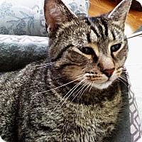 Adopt A Pet :: Cleo - N. Billerica, MA