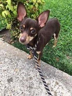 Chihuahua Mix Dog for adoption in Dallas, Texas - Mason