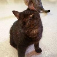 Domestic Shorthair/Domestic Shorthair Mix Cat for adoption in Shelbyville, Kentucky - Forrest