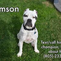 American Pit Bull Terrier/Boxer Mix Dog for adoption in Camarillo, California - SAMSON