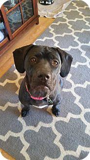 Labrador Retriever/Mastiff Mix Dog for adoption in Bellingham, Washington - Zora