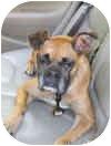 Boxer Dog for adoption in North Haven, Connecticut - Henrietta