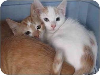 American Shorthair Kitten for adoption in Randolph, New Jersey - Flynn Quinn and Amadeus