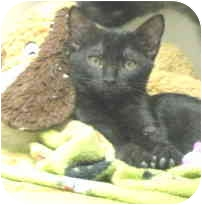 Domestic Shorthair Kitten for adoption in Mesa, Arizona - Charlotte and Tyler