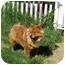 Photo 3 - Chow Chow Dog for adoption in Auburn, California - LOLA