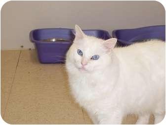 Domestic Longhair Cat for adoption in El Cajon, California - Danny