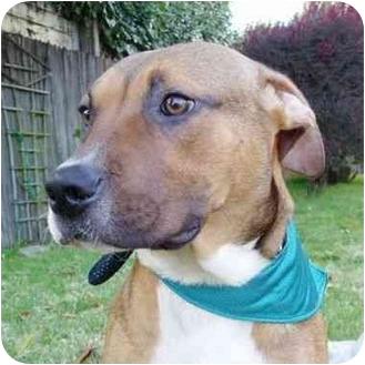 Shepherd (Unknown Type)/Rhodesian Ridgeback Mix Puppy for adoption in Berkeley, California - Boots