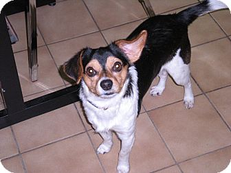 """Beagle Mix Dog for adoption in New Castle, Pennsylvania - """" Cooper """""""