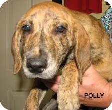 Labrador Retriever/Plott Hound Mix Puppy for adoption in Largo, Florida - Polly