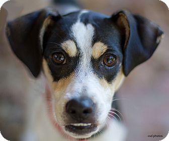 Rat Terrier/Italian Greyhound Mix Dog for adoption in Baton Rouge, Louisiana - Ruby