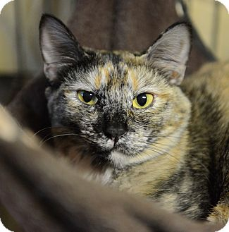 Domestic Shorthair Cat for adoption in Muskegon, Michigan - lacy