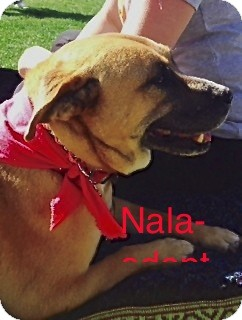 Boxer/Labrador Retriever Mix Dog for adoption in Scottsdale, Arizona - Nala