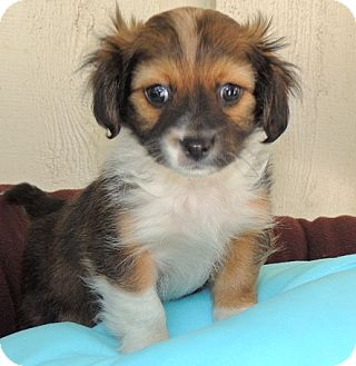Jack Russell Terrier/King Charles Spaniel Mix Puppy for adoption in La Habra Heights, California - Francy