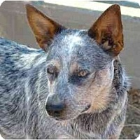 Adopt A Pet :: Dixie - Phoenix, AZ