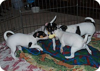 Jack Russell Terrier/Rat Terrier Mix Puppy for adoption in McKinleyville, California - Fushia's Puppies