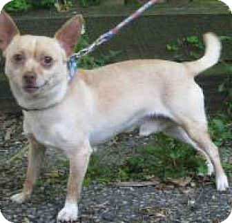 Chihuahua Mix Dog for adoption in Madison, Wisconsin - Mickey