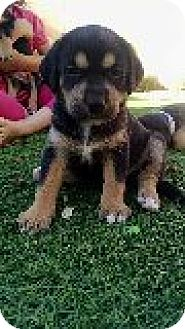 Shepherd (Unknown Type) Mix Puppy for adoption in Las Vegas, Nevada - Piper