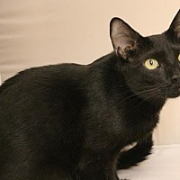Adopt A Pet :: Meesha - Atlanta, GA