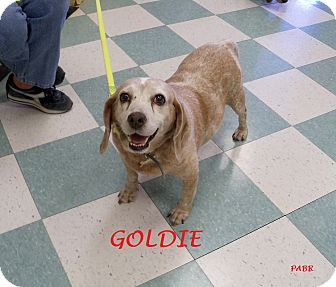 Beagle Mix Dog for adoption in Ventnor City, New Jersey - GOLDIE