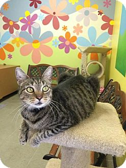 Domestic Shorthair Cat for adoption in Mims, Florida - Olio