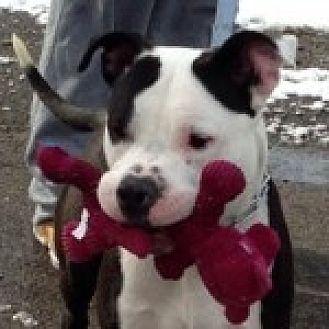 Staffordshire Bull Terrier Mix Dog for adoption in Medford, Massachusetts - Kimba