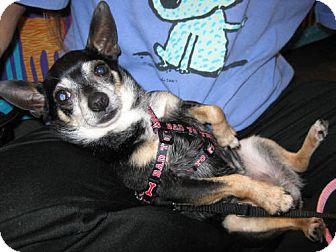 Chihuahua Mix Dog for adoption in Fenton, Missouri - Taco