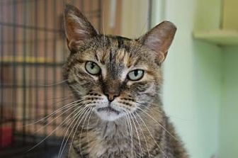 Domestic Shorthair Cat for adoption in Indianapolis, Indiana - Miss Venetia
