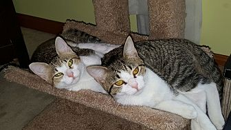 Domestic Shorthair Cat for adoption in Gainesville, Virginia - Khloe and Millie