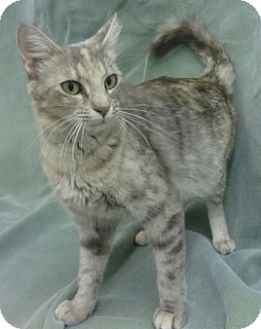 Domestic Mediumhair Cat for adoption in Olive Branch, Mississippi - Wanda