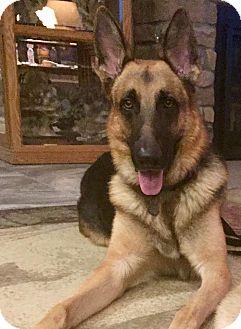 German Shepherd Dog Mix Dog for adoption in Phoenix, Arizona - Donovan