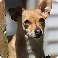 Chihuahua Mix Dog for adoption in Portland, Oregon - Buddy