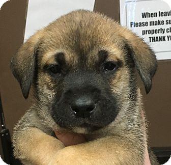 Shepherd (Unknown Type) Mix Puppy for adoption in San Antonio, Texas - Admiral