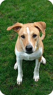 Beagle/Labrador Retriever Mix Dog for adoption in Olympia, Washington - Mike W