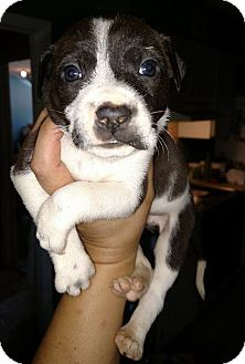 Australian Shepherd/Jack Russell Terrier Mix Puppy for adoption in Savannah, Georgia - Timon