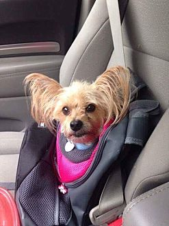 Yorkie, Yorkshire Terrier Mix Dog for adoption in Toronto, Ontario - RASCAL