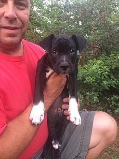 Shepherd (Unknown Type)/Pit Bull Terrier Mix Puppy for adoption in Raleigh, North Carolina - Colt