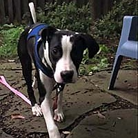 Adopt A Pet :: Danville Romeo - Chantilly, VA