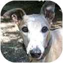 Greyhound Dog for adoption in Dallas, Texas - Eva