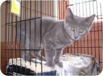 Domestic Shorthair Kitten for adoption in Honesdale, Pennsylvania - Mr. Mokey
