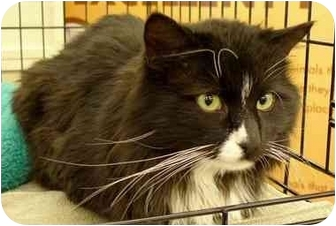 Domestic Longhair Cat for adoption in Troy, Michigan - Komin