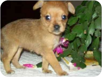 Yorkie, Yorkshire Terrier/Chihuahua Mix Puppy for adoption in Harrisonburg, Virginia - Winter