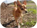 Chihuahua Mix Dog for adoption in Sacramento, California - Felice