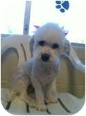 Bichon Frise/Poodle (Miniature) Mix Dog for adoption in Brookline, Massachusetts - Ruby