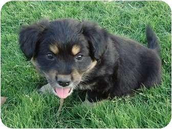 Corgi/Cocker Spaniel Mix Puppy for adoption in Arlington, Texas - Hunter
