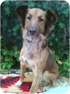 Collie/Golden Retriever Mix Dog for adoption in Long Beach, California - MIKEY