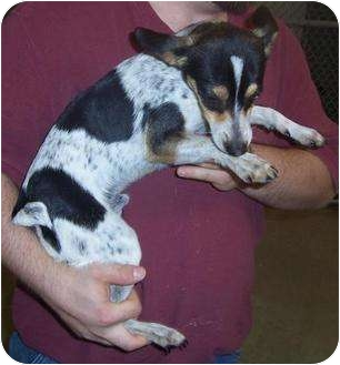 Rat Terrier Dog for adoption in Mt. Vernon, Illinois - Pancho