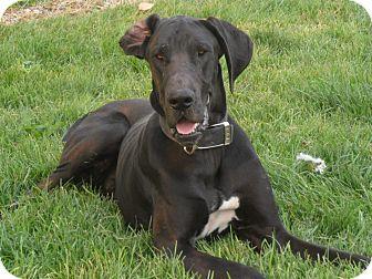Great Dane Mix Dog for adoption in Jerome, Idaho - Duke #5127