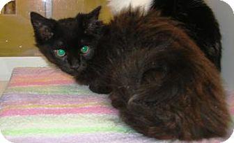 Domestic Mediumhair Cat for adoption in Columbus, Georgia - FERB 4837