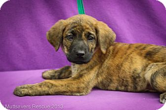 Shepherd (Unknown Type) Mix Puppy for adoption in Broomfield, Colorado - Jameson
